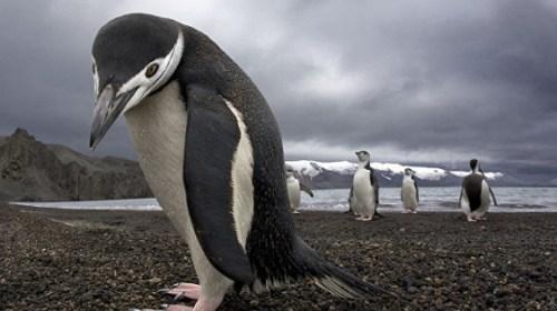 Открыт гигантский пингвин – ровесник динозавров