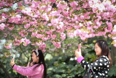 Японцы заполонили Instagram фотографиями цветущей сакуры