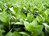 Листья табака – универсальное средство от болезней кожи