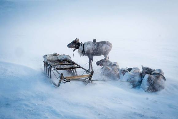 reindeer in the snow at the nenets homestay in siberia