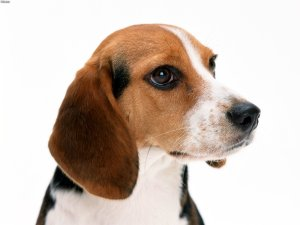 beagle-face-pclayer