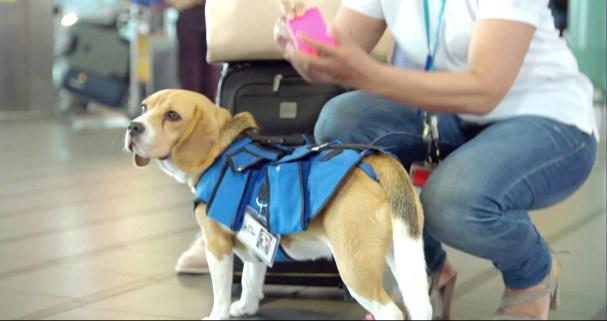 beagle helper