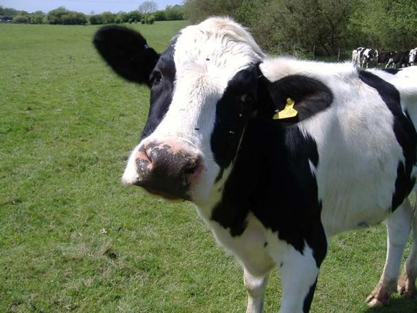 Run cow, run!