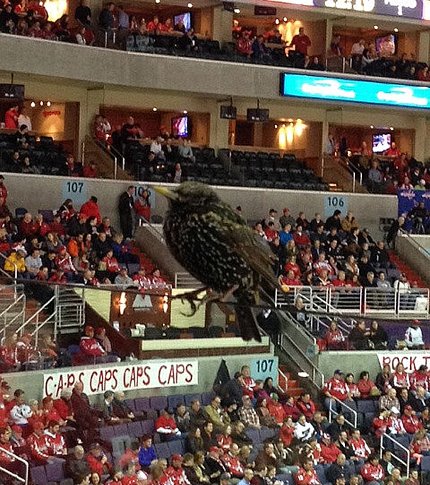 verizon-center-birds