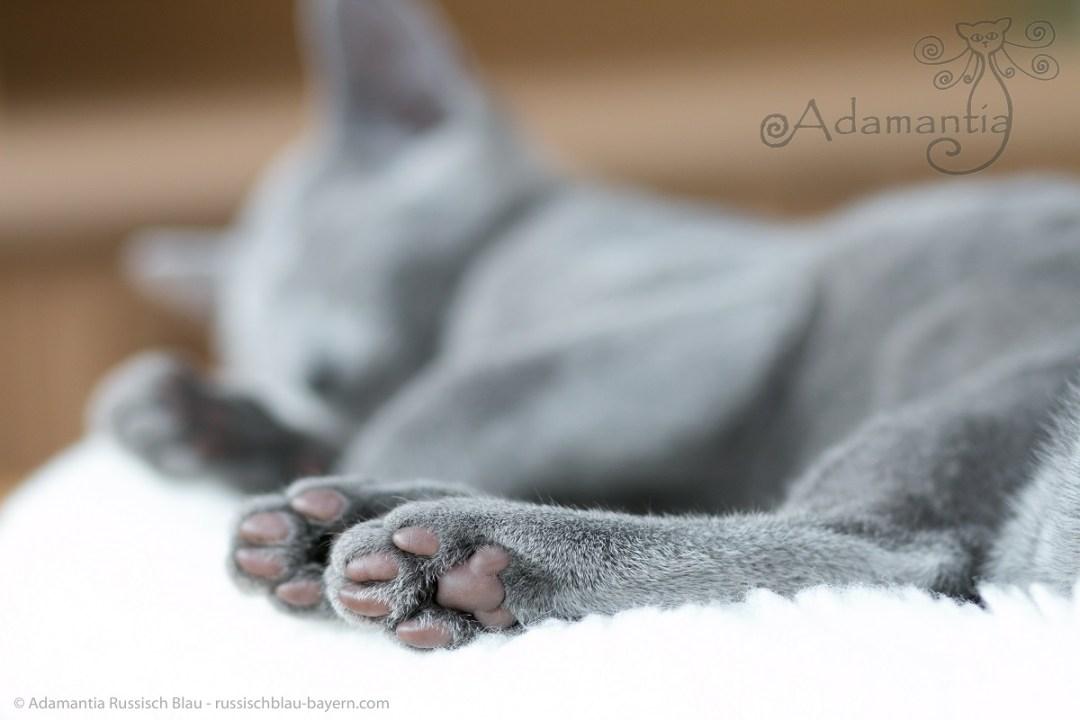 Russischblau Kater Enzo´s Füße