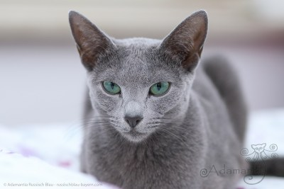 Russischblau Katze Fee-10