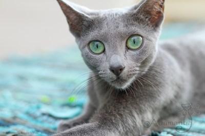Russischblau Katze Fee-2
