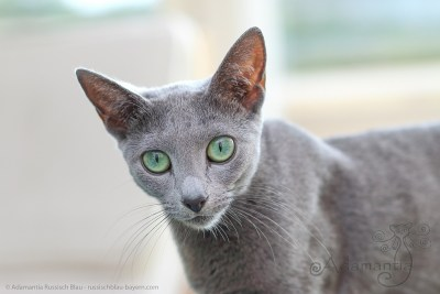 Russischblau Katze Fee