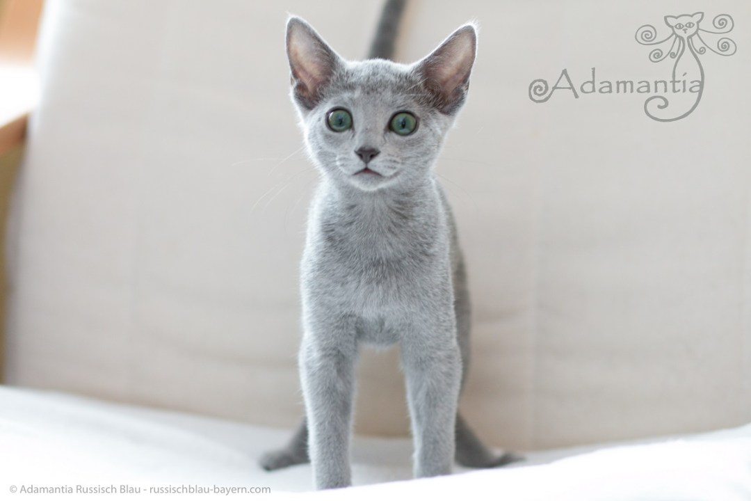 Russisch blau Katze Mia-15