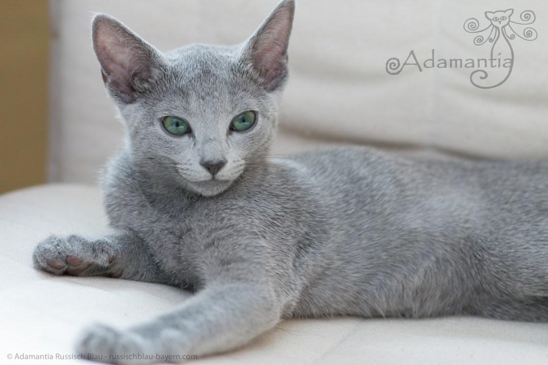 Russischblau Katze Mia