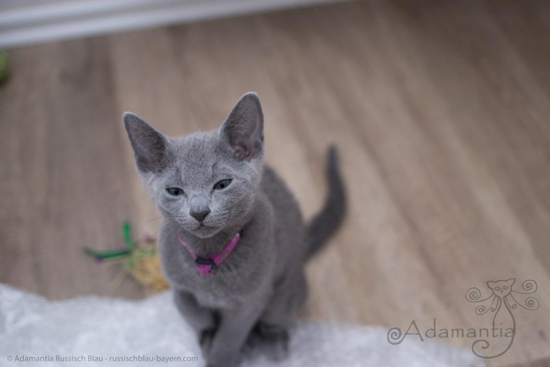 Russisch Blau Kitten aus der Russischblau Cattery Adamantia im Wohnzimmer
