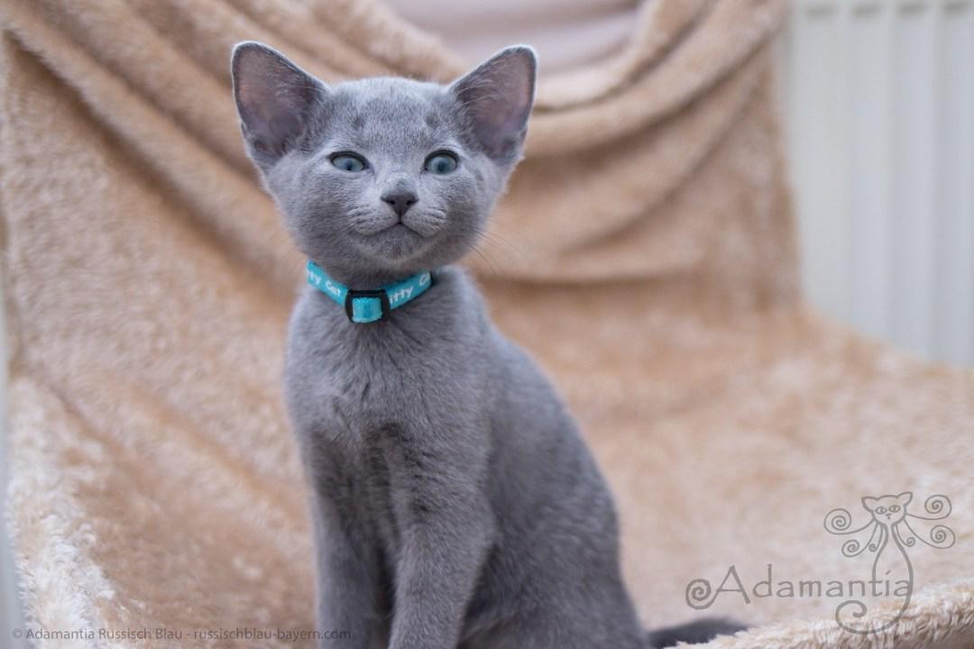 Russisch Blau Kitten aus der Russischblau Cattery Adamantia in Heizungsliege