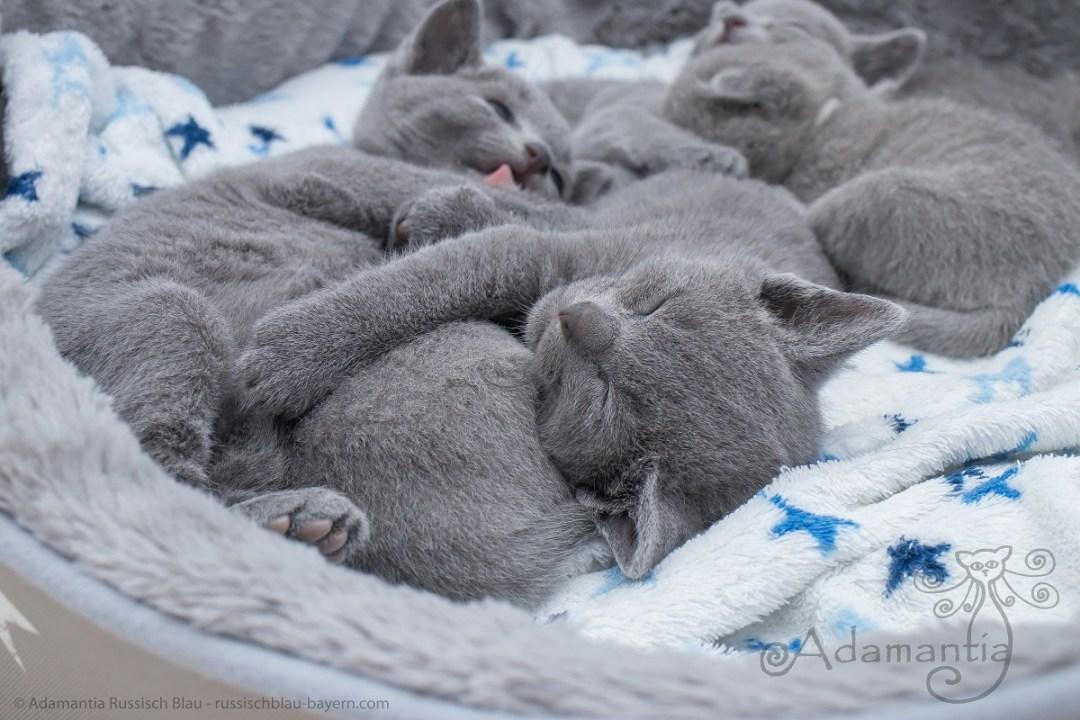 Russisch blau Katzenbabys 2017 M-N-12