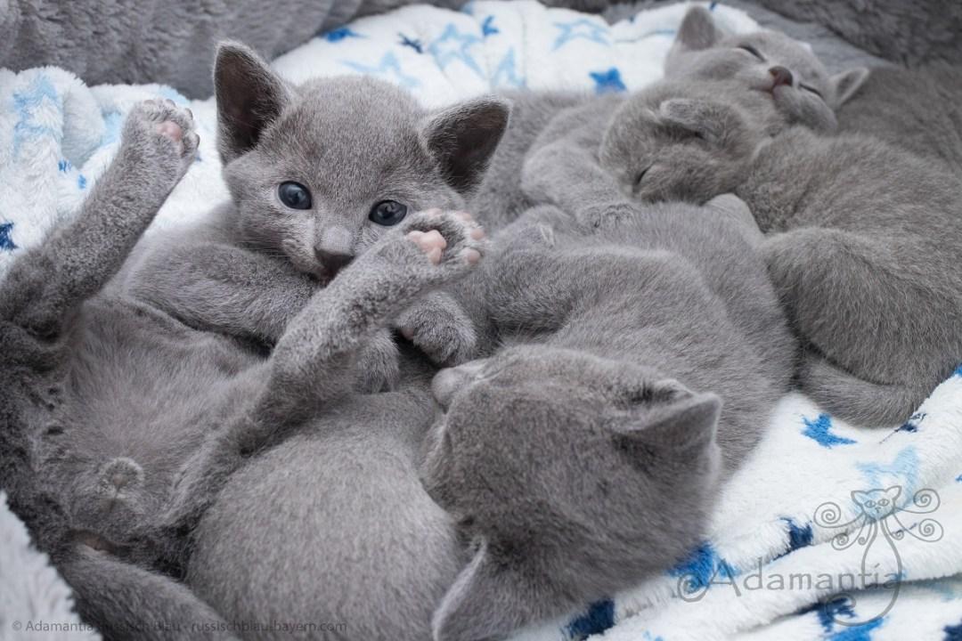 Russisch blau Katzenbabys 2017 M-N-14