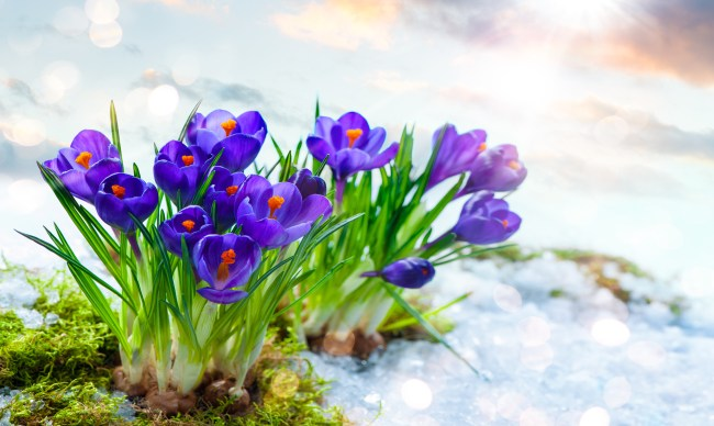 Spring flowers blooming through snow into sunlight