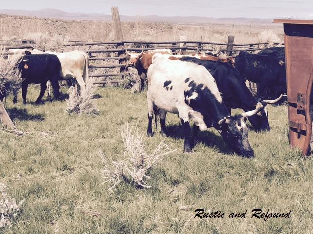 long horn cows 4-30-17.2