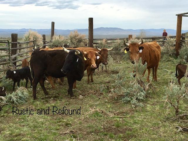 cows n corral