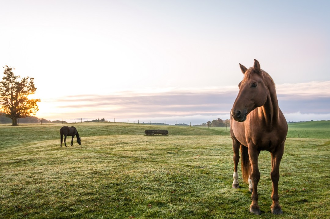 Beautiful horses graze in the morning dew at sunrise in Upstate NY