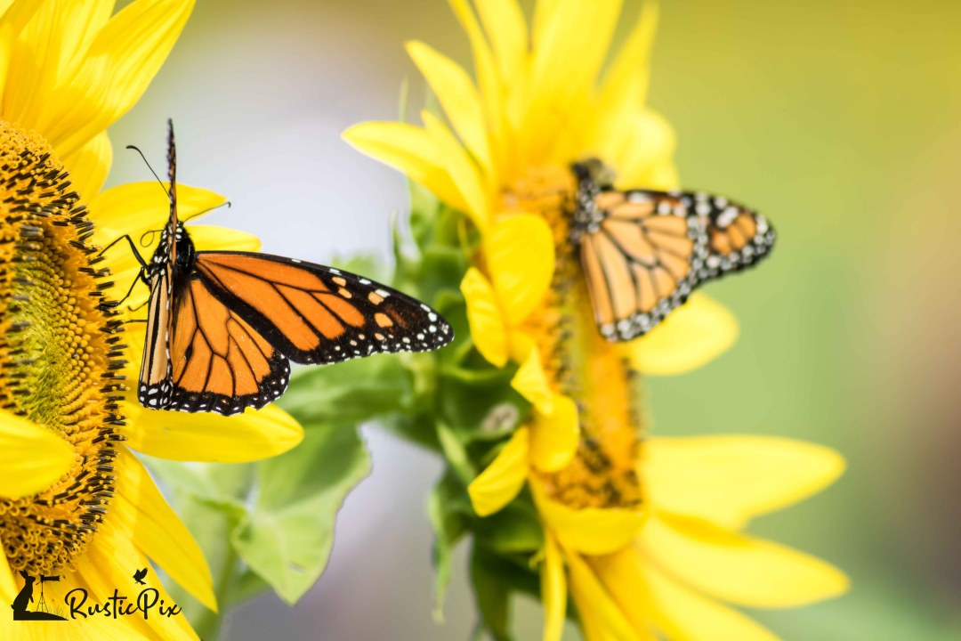 two sunflowers with two monarchs