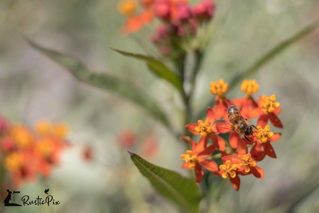 Honeybee on Tropical Milkweed