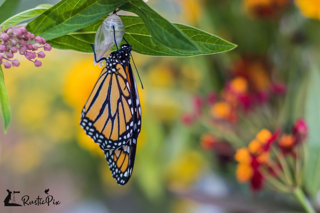 Monarch Butterfly drying wings on Swamp Milkweed