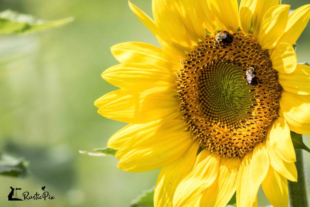 black oil sunflower (1)