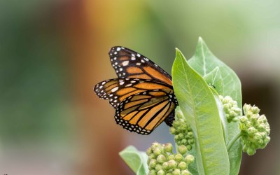 Three Common types of Milkweed for Monarch Butterflies in Zone 6