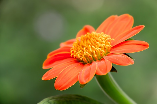 mexican sunflower tithonia