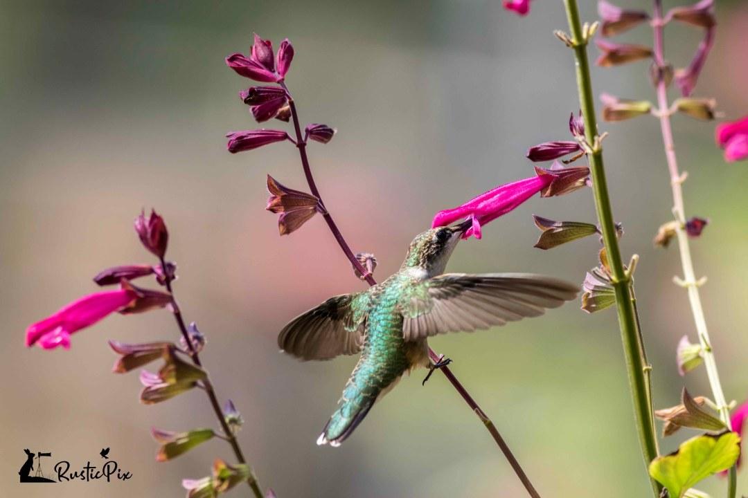 ruby throated hummingbird on pink salvia