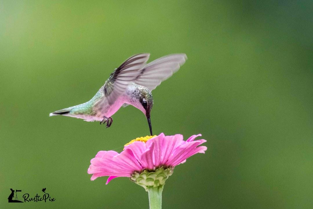 hummingbird on pink zinnia