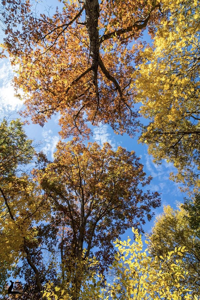sawmill fall foliage upshots blue sky 1