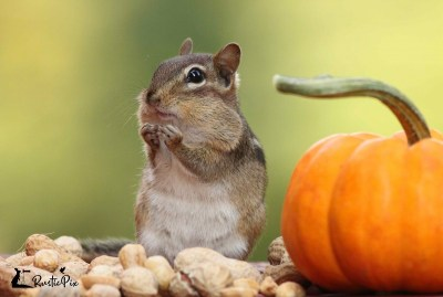 Chipmunk pumpkin