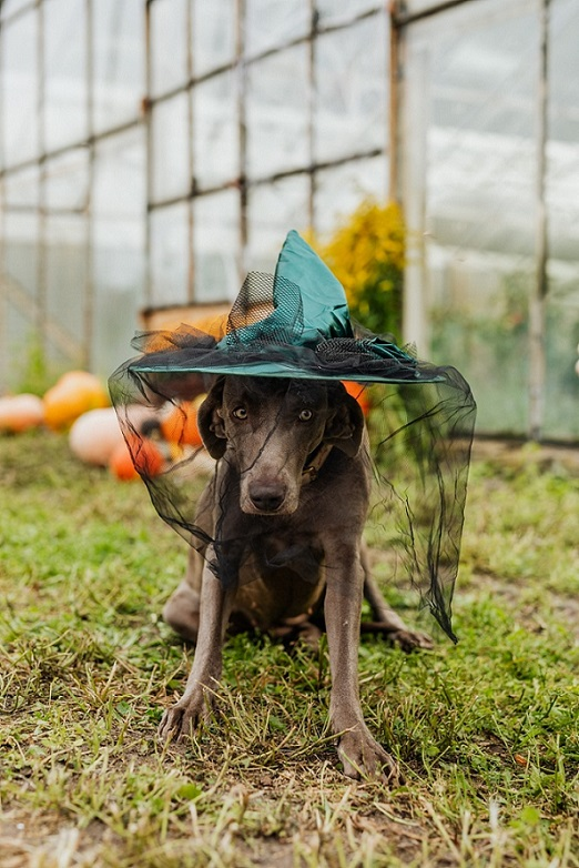 dog in witch hat near greenhouse