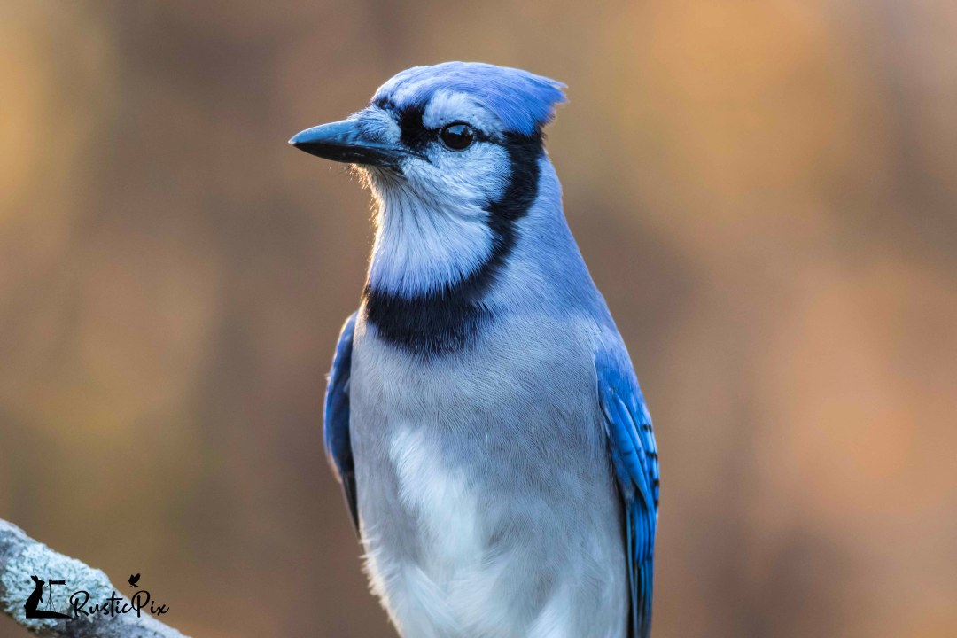 blue jay closeup