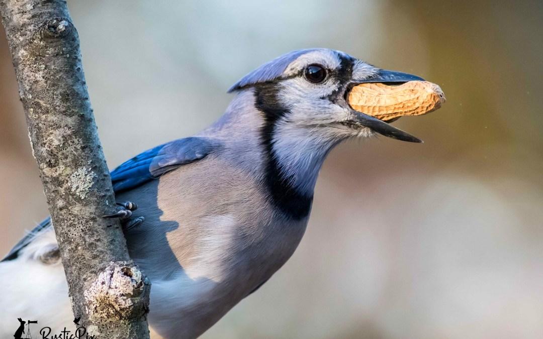 blue jay peanut