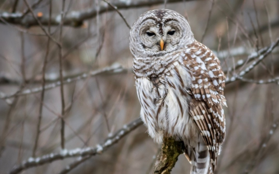 The Barred Owl and the Bald Eagles