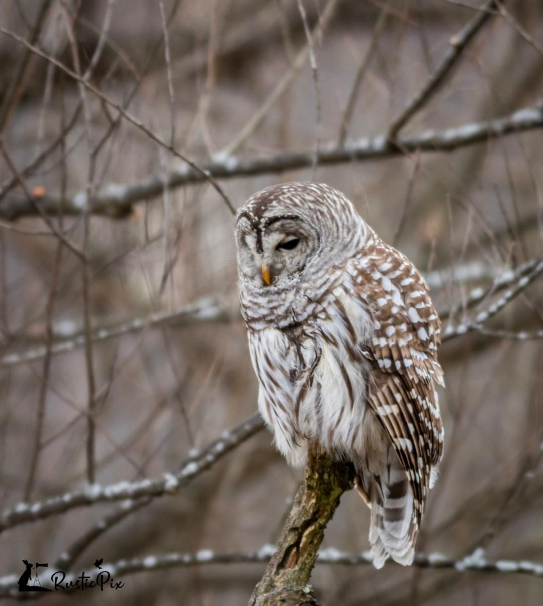 barred owl turn