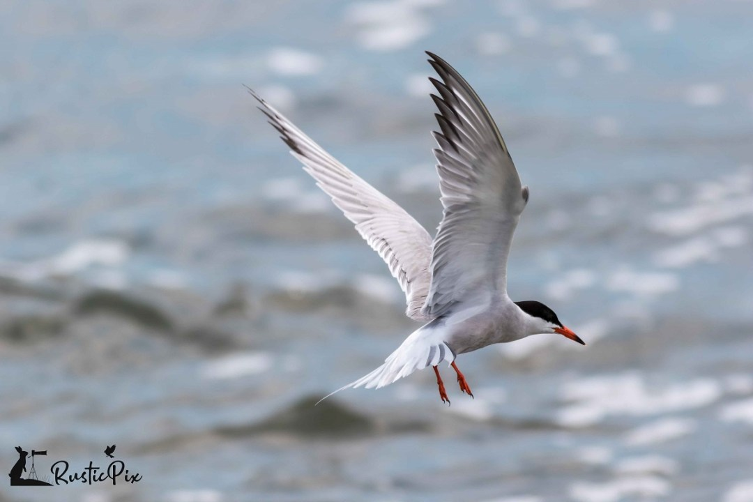 common tern forsythe summer