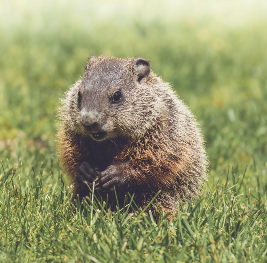 groundhog kit in grass