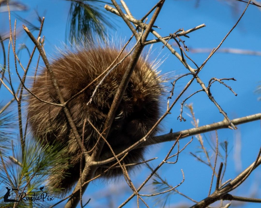 porcupine (3)