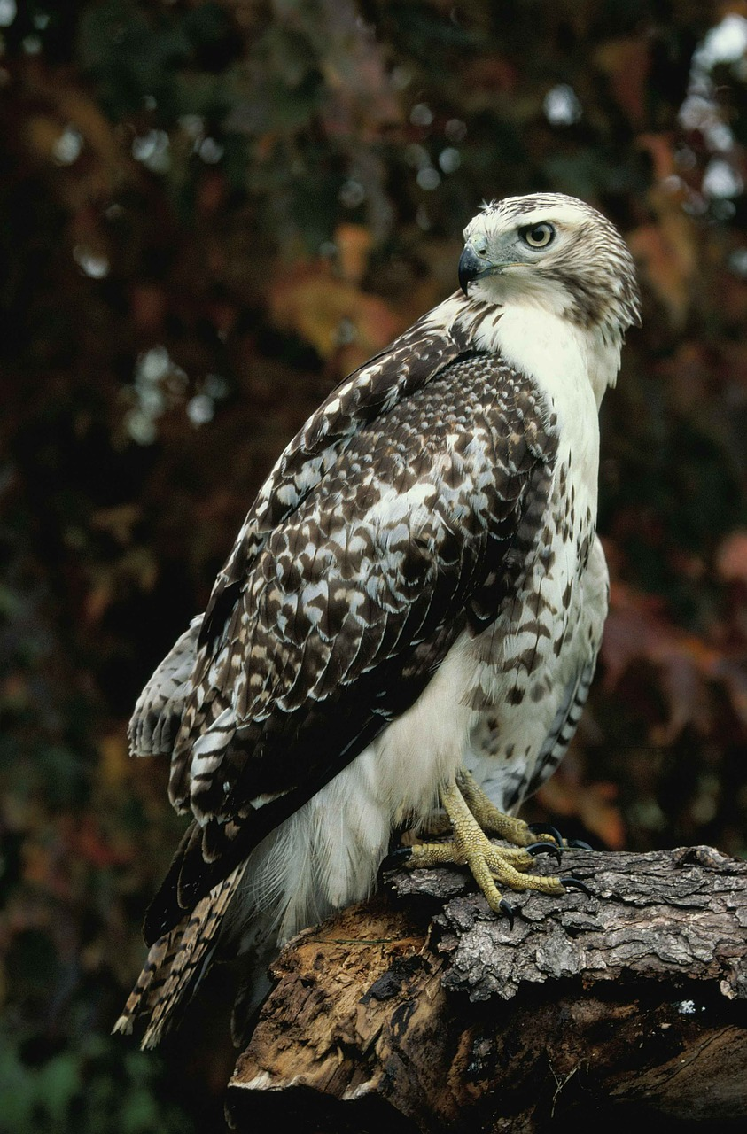 red-tailed hawk rock
