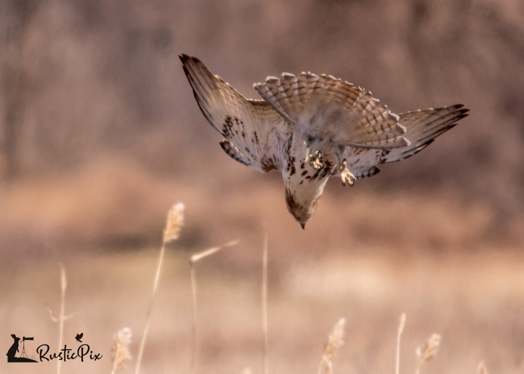 red tail diving (1)