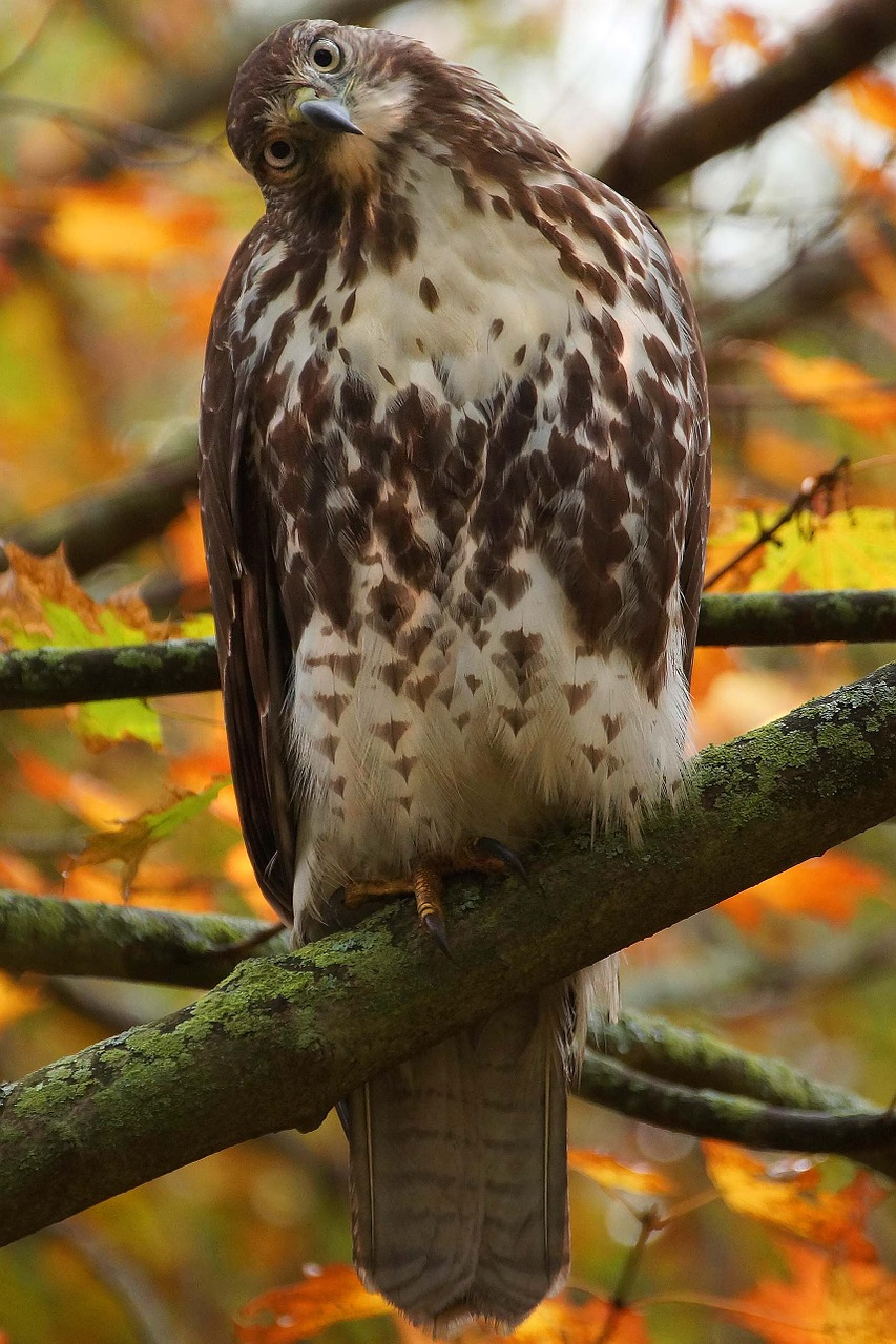 red-tailed hawk perched fall