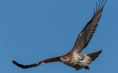 Red-Tailed Hawk:  11 Fascinating Facts and Photos