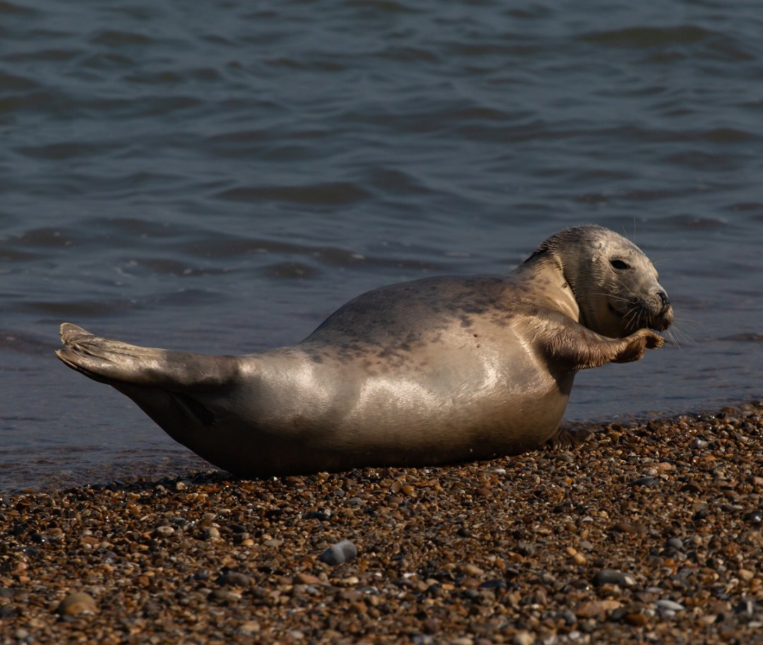 harbor-seal-abs-theotherkev