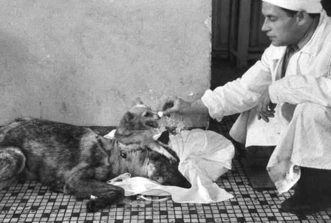 demikhov-dog 2