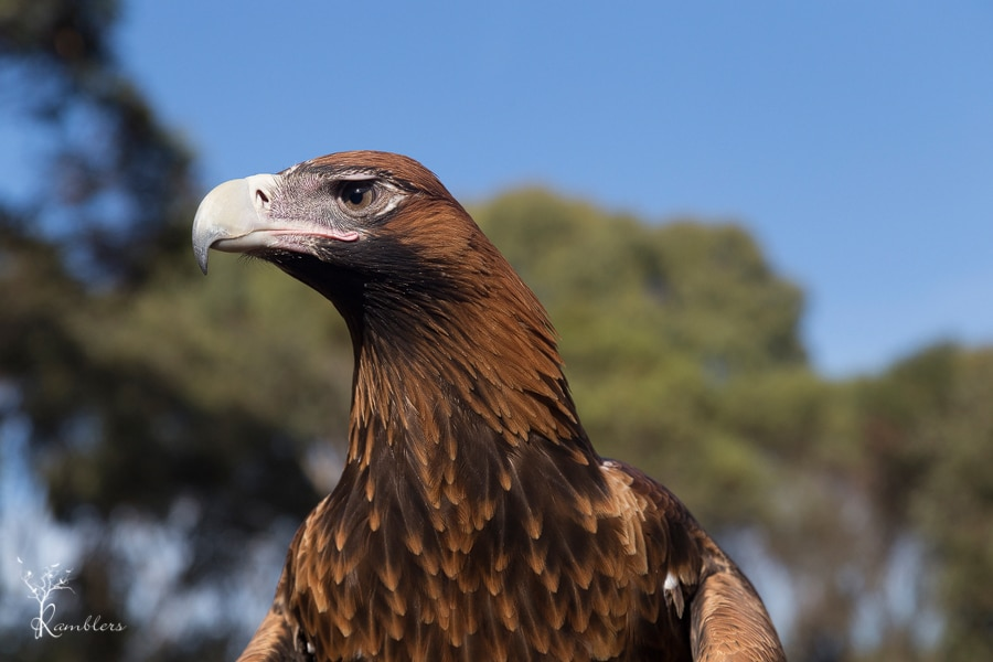 Nellie the Wedgetail Eagle