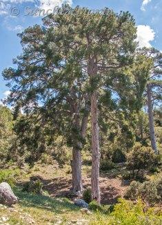 Pino - Laricio - de La Artesilla -, uno de los mas longevos del Parque Natural