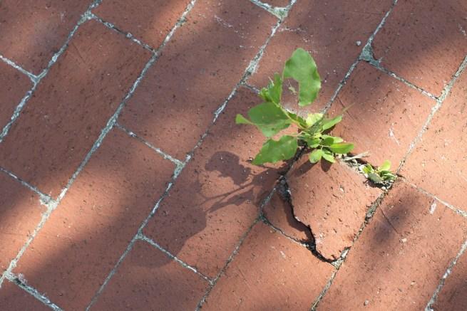 Life Force Grows Up Through the Brick Sidewalk