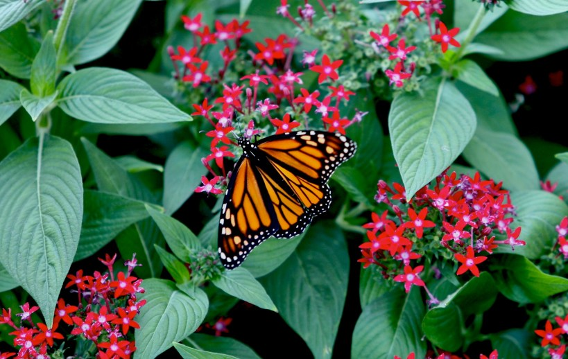 OSU Stadium Planter with Monarch Butterfly